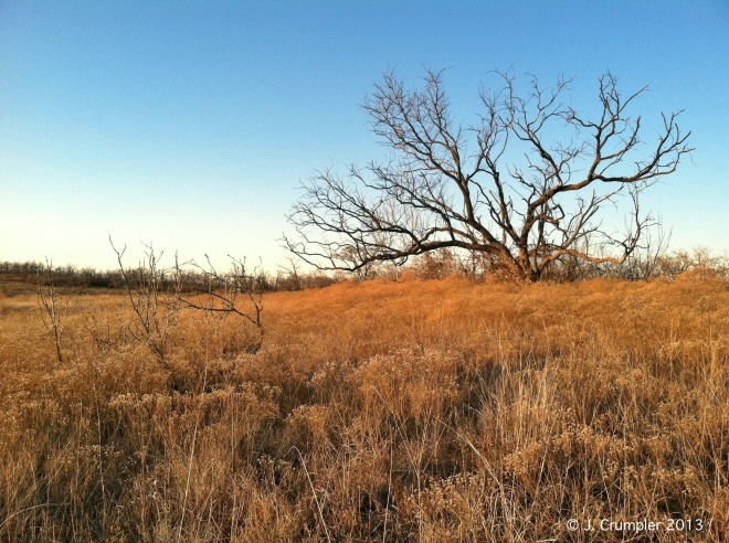 Honey Mesquite (Prosopis glandulosa) in the background amongst a Broomweed-choked pasture.