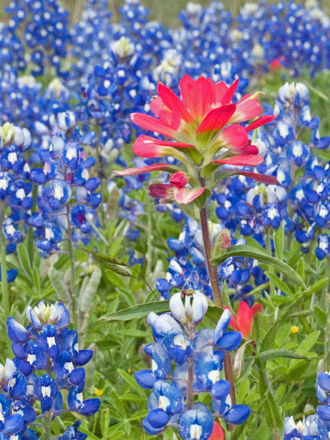 Photo Credit: Connie Merrill, Lady Bird Johnson Wildflower Center