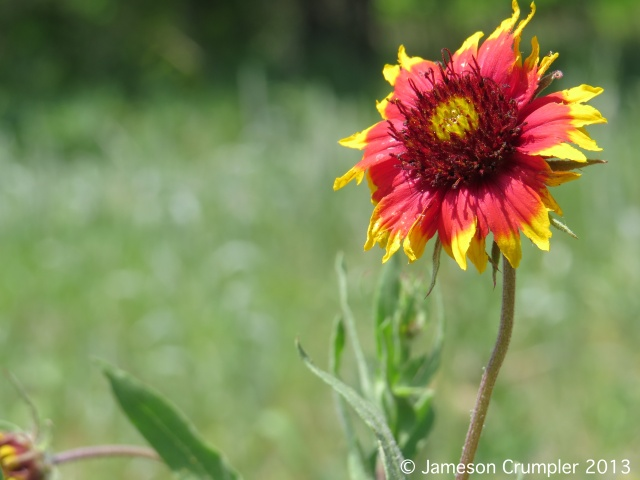 Indian Blanket (Gaillardia pulchella).