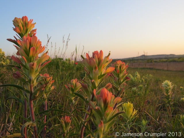 Castilleja purpurea, an Indian Paintbrush with more variable colors than the commonly planted and seen C. indivisa