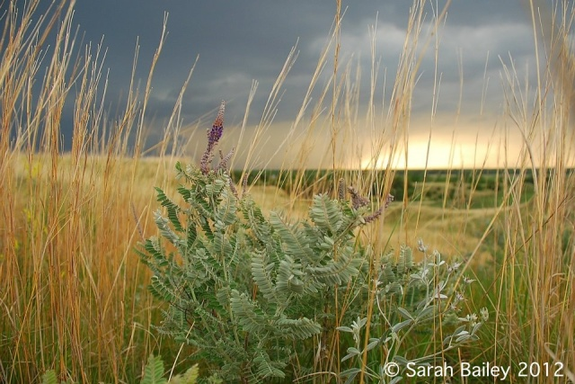 A late spring thunderstorm rolls in at Griffith Prairie, highlighting the (?) grass and spotlighting the perennial forb