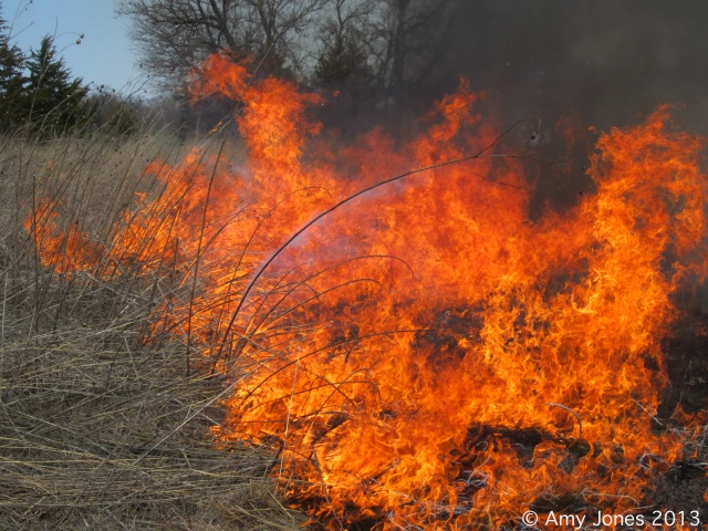 Fire on the ground at a private prairie planting.  This planting is 4 years old and received its first burn, without which, it would be invaded by Smooth Brome (Bromus inermis), and woody species.  Prairies cannot exist without fire.