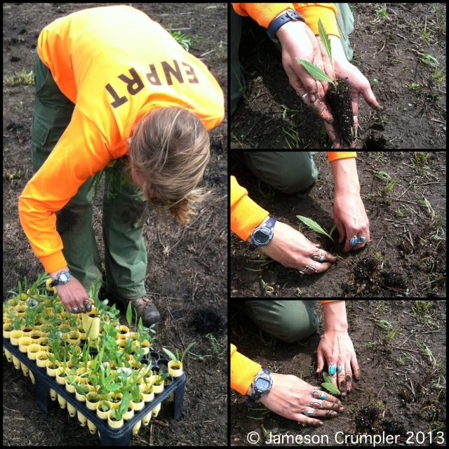 Compassplant (Silphium laciniatum), a classic tallgrass prairie wildflower, is being planted as a seedling at a private planting.
