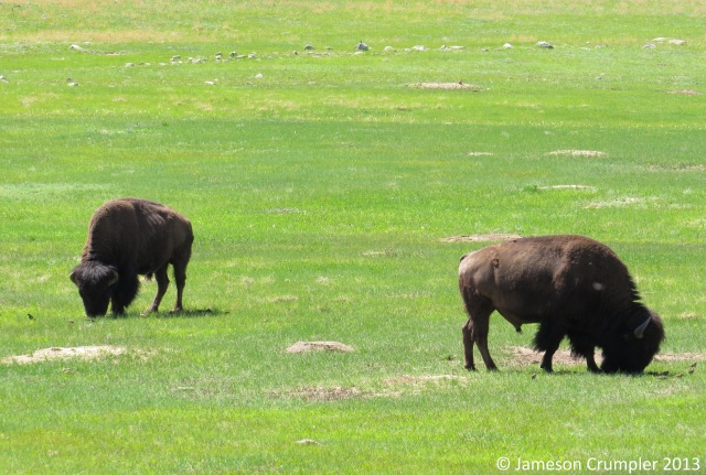 American Bison ( ), along with its ecological counterpart, the Prairie Dog ( ), are considered keystone species in the North American prairie.  Here, two bison graze in a prairie dog town in Wind Cave National Park.