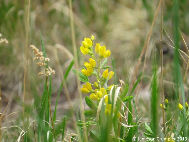 There were many colonies of Golden Pea (Thermopsis rhombifolia) throughout the Black Hills, both in the grasslands and scattered openings in pine forests.