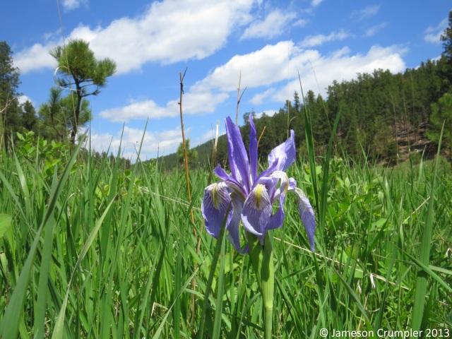 Rocky Mountain Iris (Iris missouriensis).