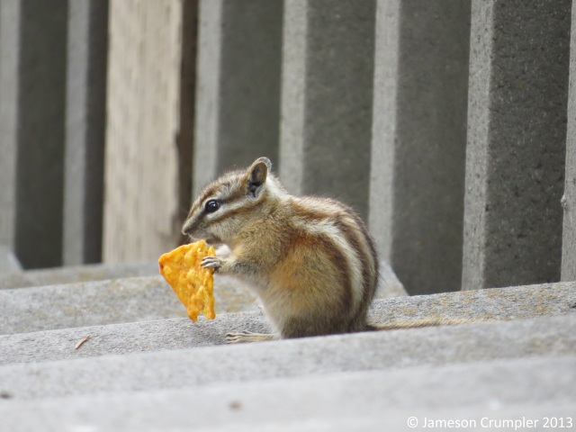 And then there was a Chipmunk who helped itself to a Nacho Cheese Dorito at a campground near Keystone, SD.