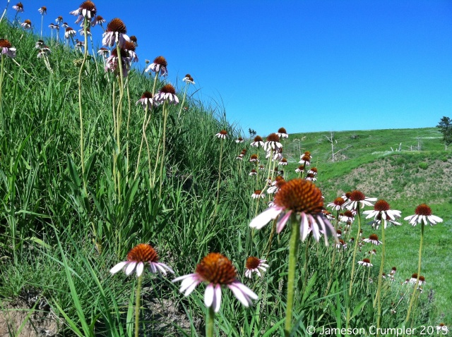 Black Sampson (Echinacea angustifolia) at Griffith Prairie, NE.