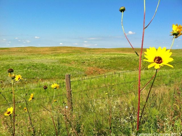 A trip to the Sandhills near St. Paul was gladly taken. At this point in the summer, the weather had cooled significantly. Temperatures were 15-20 degrees below normal for almost a full 3 weeks.  Stiff Sunflower (Helianthus pauciflorus) is in this photo. Note its red stems.