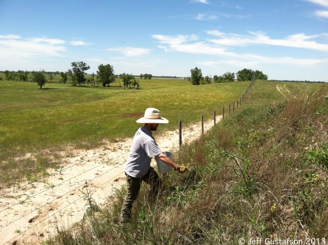 The Prairie Ragwort harvest continued in the Sandhills near St. Paul, NE.