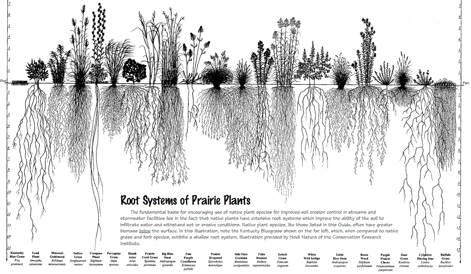 drawing of Root System of Prairie Plants, by Heidi Natura, 1995, select to view full-size