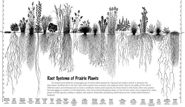 prairierootsystems