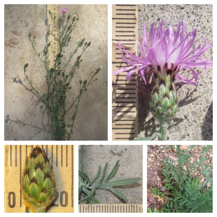 From left to right, top to bottom: Plant view of Spotted Knapweed; flower; flower bud; midstem leaf; and basal leaves. Photos courtesy of USFWS Balcones Canyonlands.